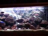 Aquarium cichlidés malawi
