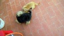 Rottweiler Vs Pitbull...Pelea de perros muy agresivos (Estas imágenes pueden herir su sensibilidad)