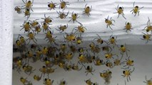 Video Taken with JVC HD Everio Baby Spiders Not on Drugs Sackville NB Nasty Disgusting and Cute