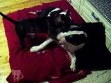 Miniature Bull Terrier is teasing Bull Terrier