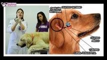 Como limpar orelha do seu cachorro