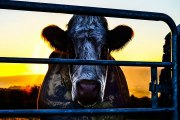 Full Movie  Cowspiracy: The Sustainability Secret  (2014)  Streaming Online Part I