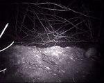 Badgers making strange noises
