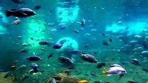 Hippos Swimming: Hippos Playing: Watch Hippos Underwater