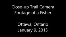 Close-up Trail Camera Footage of a Fisher