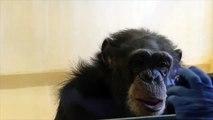 Matthew Campbell and Frans de Waal Chimpanzee Empathy Study