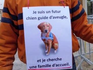 Les apprentis chiens guides d'aveugle manquent de familles d'accueil