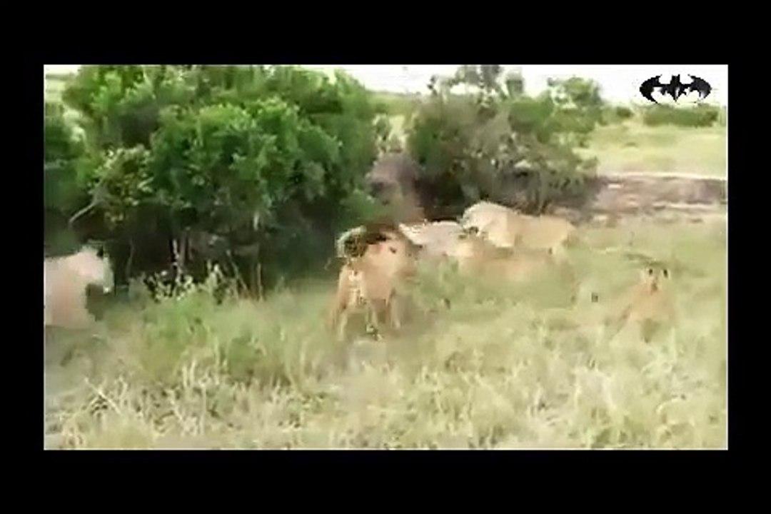 من أكبر وأضخم معارك الحيوانات المفترسة على وجه الارض ملوك الغابة