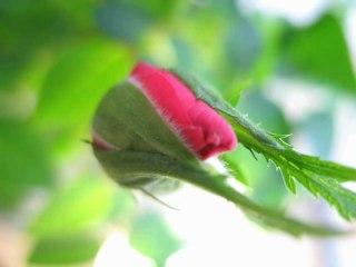 Video Une Rose Qui Eclot En Vitesse Acceleree