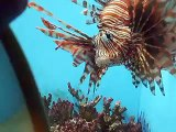 The Lion fish VS mirror in the Aquarium Video sea water marine deep sea