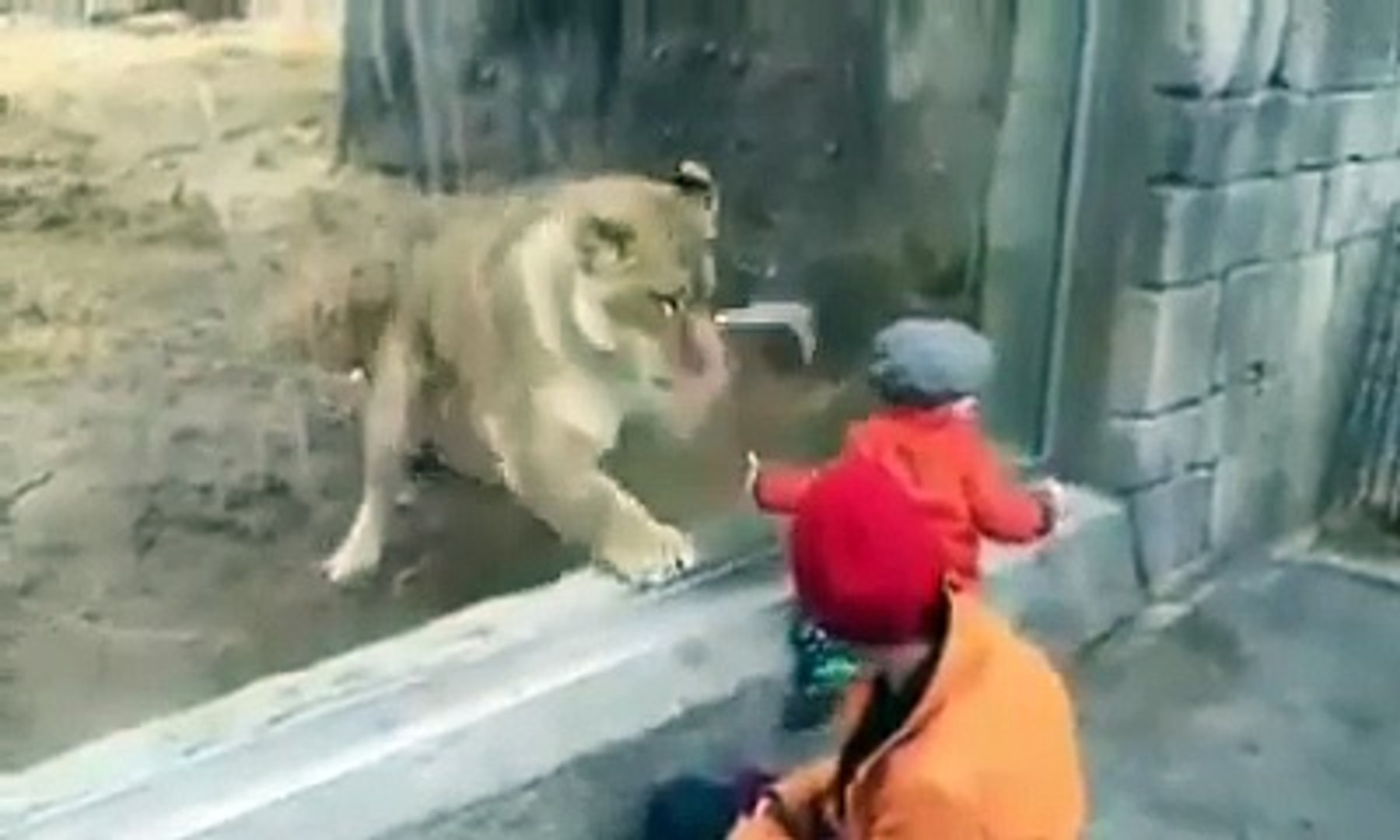 Kid Plays With Tiger