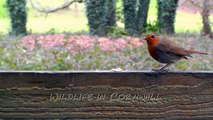 Robin - A Pair of Robins Arguing Over Bird Seed
