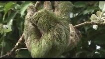 Обучение малышей ленивцев