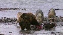 Grizzli vs 4 loups