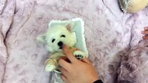 Lovely Bichon Frise Puppy! Bichon Frise Puppy Playing! Teacup Bichon Frise puppy for sale
