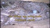African Egg eating snake eats eggs in Africa!
