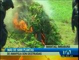 Más de cinco mil plantas de amapola fueron destruidas en Imbabura