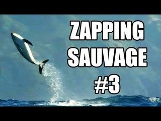 Mais pourquoi les dauphins sautent-ils ? - ZS n°3