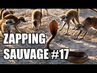 Des suricates plus forts qu'un cobra ! - ZS n°17