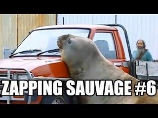 Un éléphant de mer attaque une voiture ! - ZS n°6