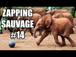 Des éléphanteaux jouent au foot - ZS n°14