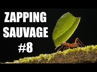 Les fourmis ont inventé l'agriculture avant l'Homme ! - ZS n°8