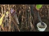Le trésor du Sénégal - Thalassa (extrait)