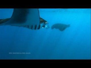 DRDA : De la Réunion à Mayotte - Les raies manta
