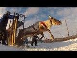 Courses de rennes : l'orgueil des Samis - Faut Pas Rêver en Laponie (extrait 1)