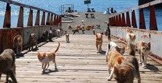 Japonya'nın 'Kedi Adası'nda 22 İnsan 120'den Fazla Kedi Yaşıyor
