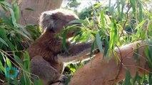Hundreds of Starving Koalas Killed in Australia