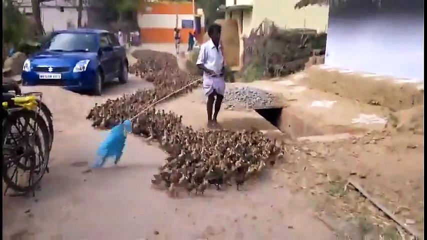 amazing Ducks
