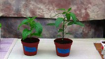 Hot Pepper Plants Growing From Seeds