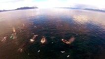 Danse de baleines vue depuis un drone dans les eaux vierges d'Alaska.