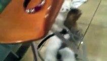Des chiots à l'attaque du chat