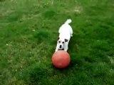Un chien rapporte la ballle sur sa tête