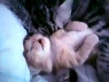 Un petit chaton qui dort près de sa maman