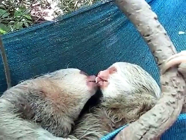 Des paresseux amoureux font pleins de bisous - Vidéo Dailymotion