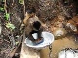 Des singes qui font la vaisselle dans la jungle