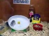 Deux hamster totalement malade de la roulette !