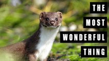 Remember That Amazing Photo Of An Adorable Baby Weasel Trying To Kill A Woodpecker?!