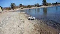 Bichon Frise Dogs Playing Lake Havasu City Arizona U.S.A