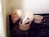 Bossy rat, rats, cute, funny, pets, animals