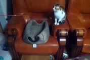 Chats amusants ! 1 chat tient une canne à pêche et l'autre essaie d'attraper l'appat ! héhé