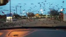 Des oiseaux, bcp d'oiseaux, trop d'oiseaux ... pris en chasse par une Jeep !
