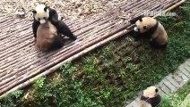 4 super pandas jouent ensemble ! Vraiment adorable !