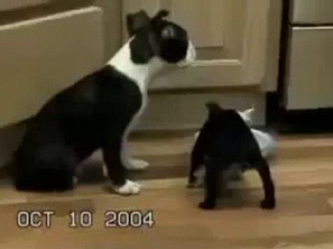 Amuda Kalkarak Süt İçen Pitbull Köpeği