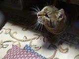 必殺!猫じゃらし(ねこ、ネコ、ペット、動画、動物、,cute cat pet video)