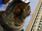 かみつき猫 逃げるのがかわいい!(ねこ、ネコ、ペット、動画、動物 cat pet)
