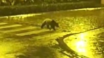 Law-Abiding Panda Wanders Into Town, Uses Crosswalk